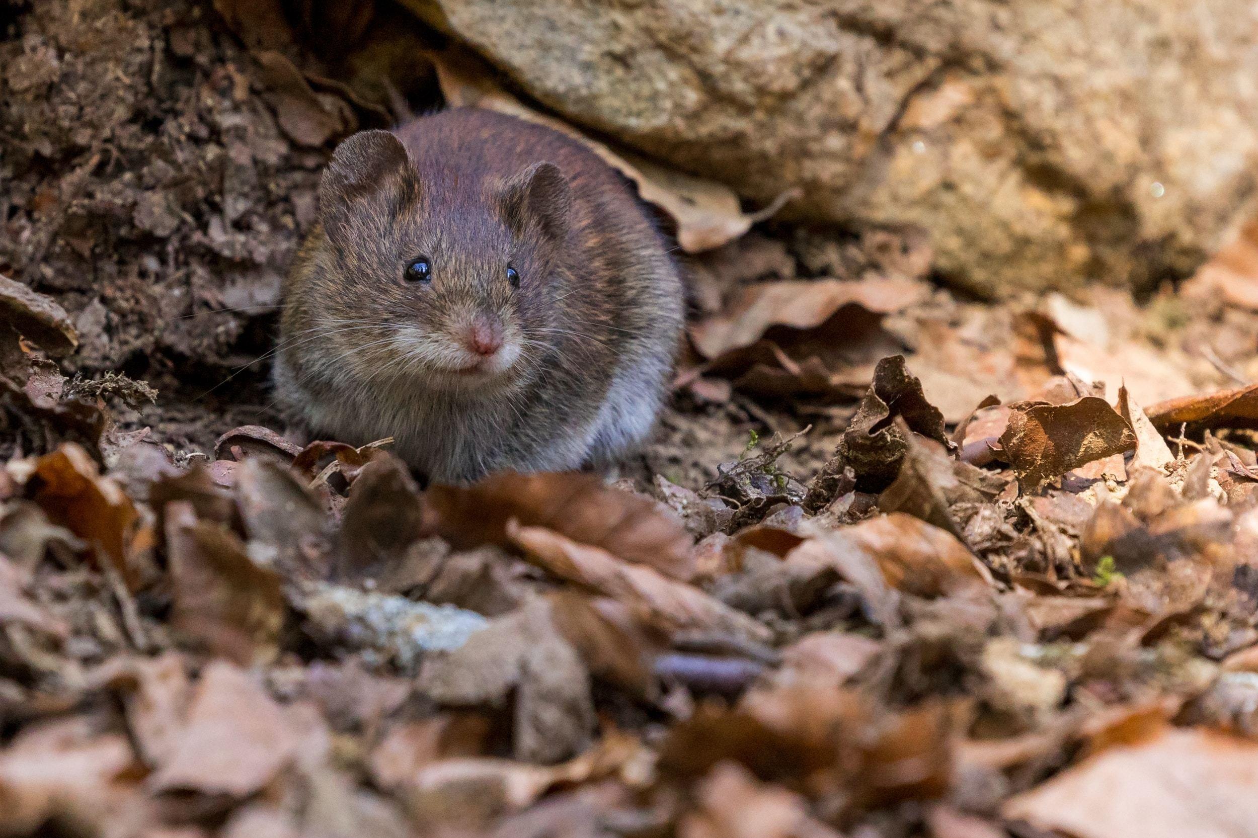 مكافحة فئران
