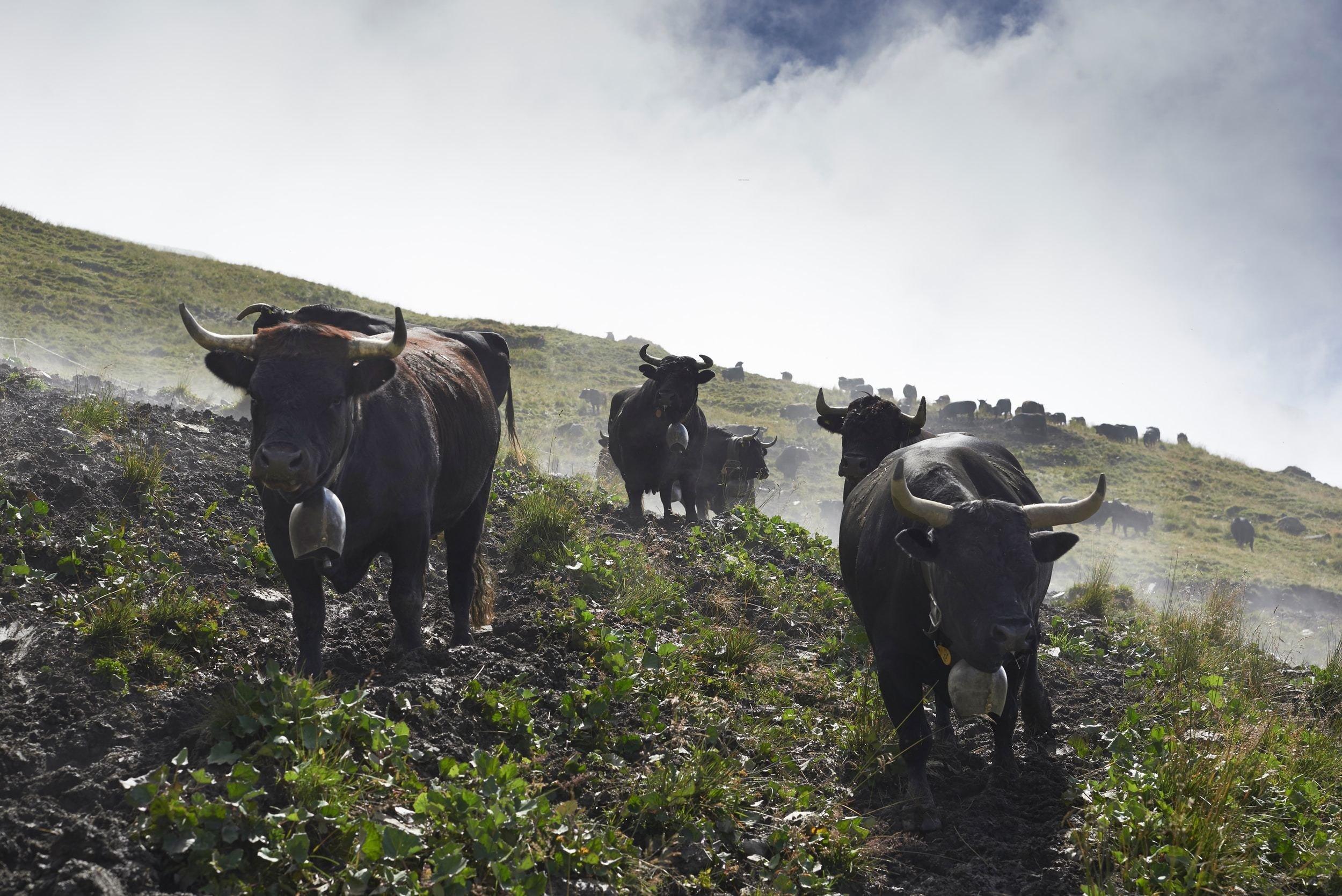 vaches brunes chargeant dans un pré en pente
