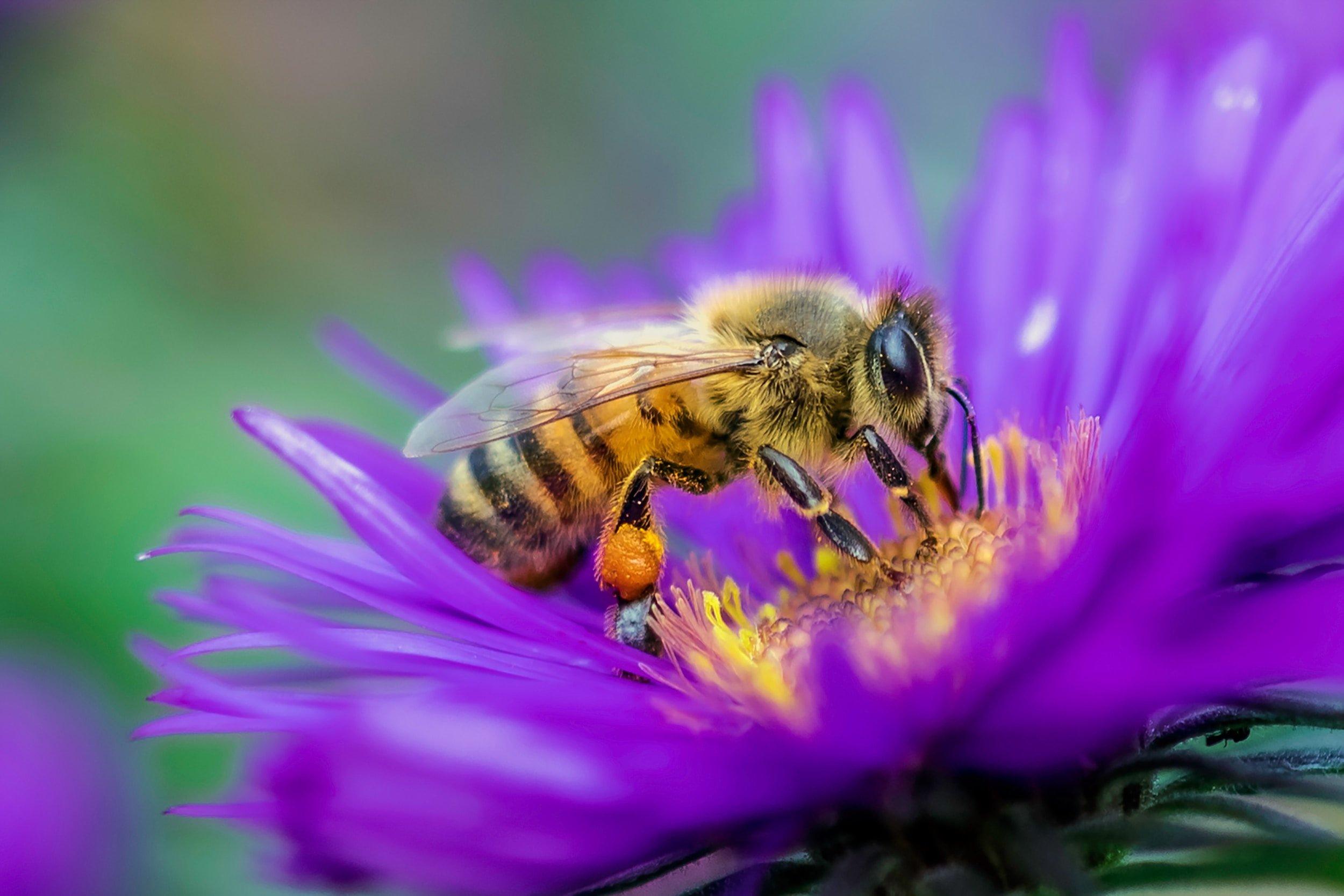 abeille butinant une fleur violette