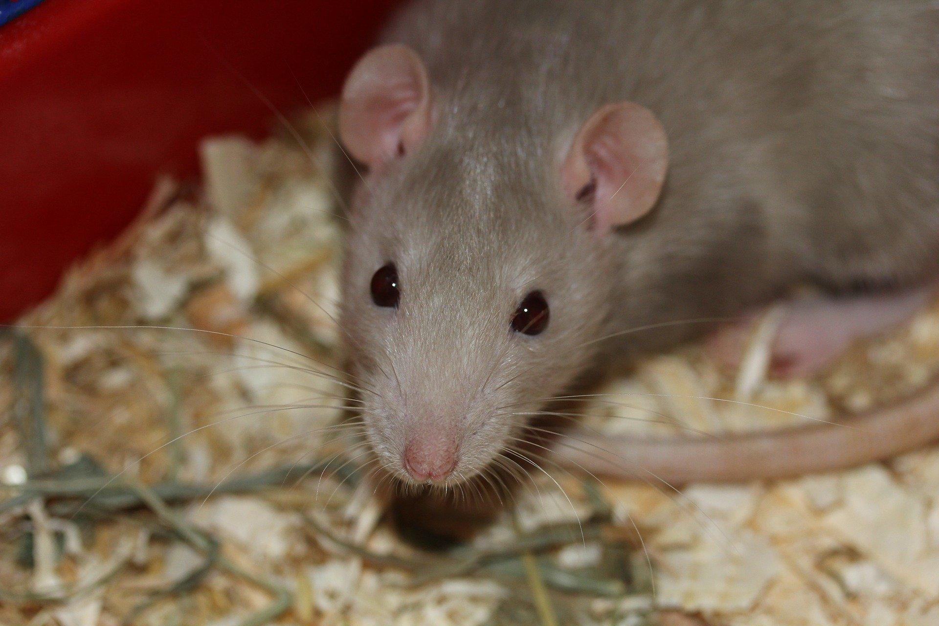 شركة مكافحة الفئران في المفرق أبو ظبي