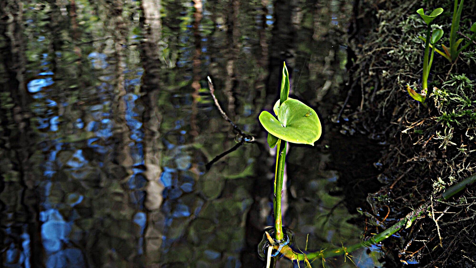 Yksinäinen vehka kasvaa puron tummass vedessä.