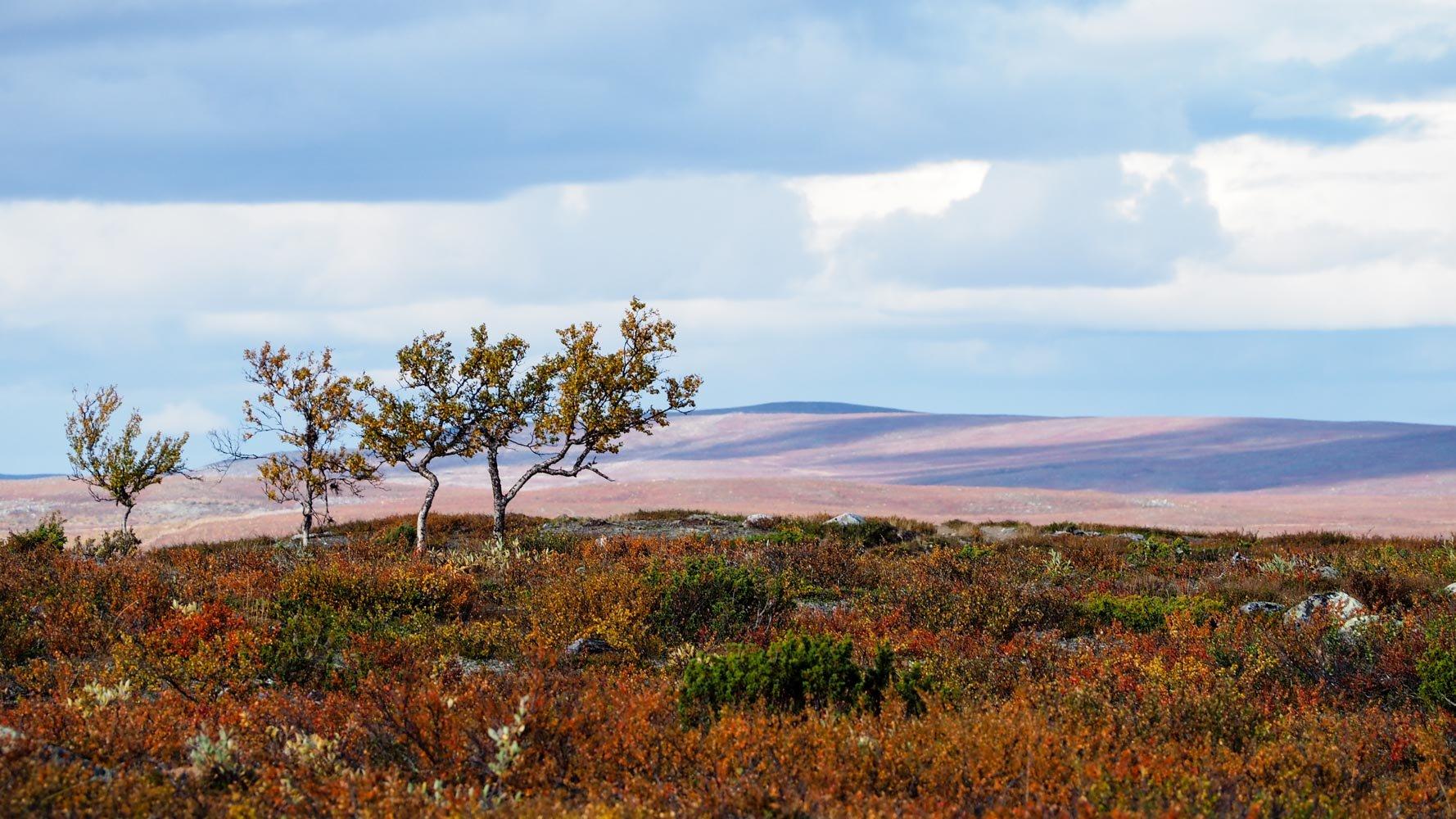 Avoin tunturimaisema, jossa etualalla ruskan väreissä koreilevaa varvikkoa ja pari käppyräistä tunturikoivua. Kaukaisuudessa loivasti kumpuilevia puuttomia vaaroja, joilla näkyy pilvien varjoja.