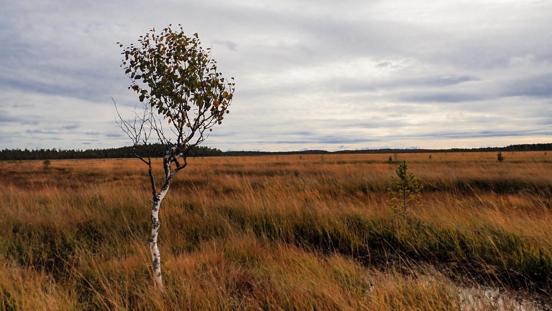 Heinää ja saraa kasvava avosuo syksyn ruskeissa ja keltaisissa sävyissä. Kuvan vasemmassa laidassa yksinäinen kitulias koivu.