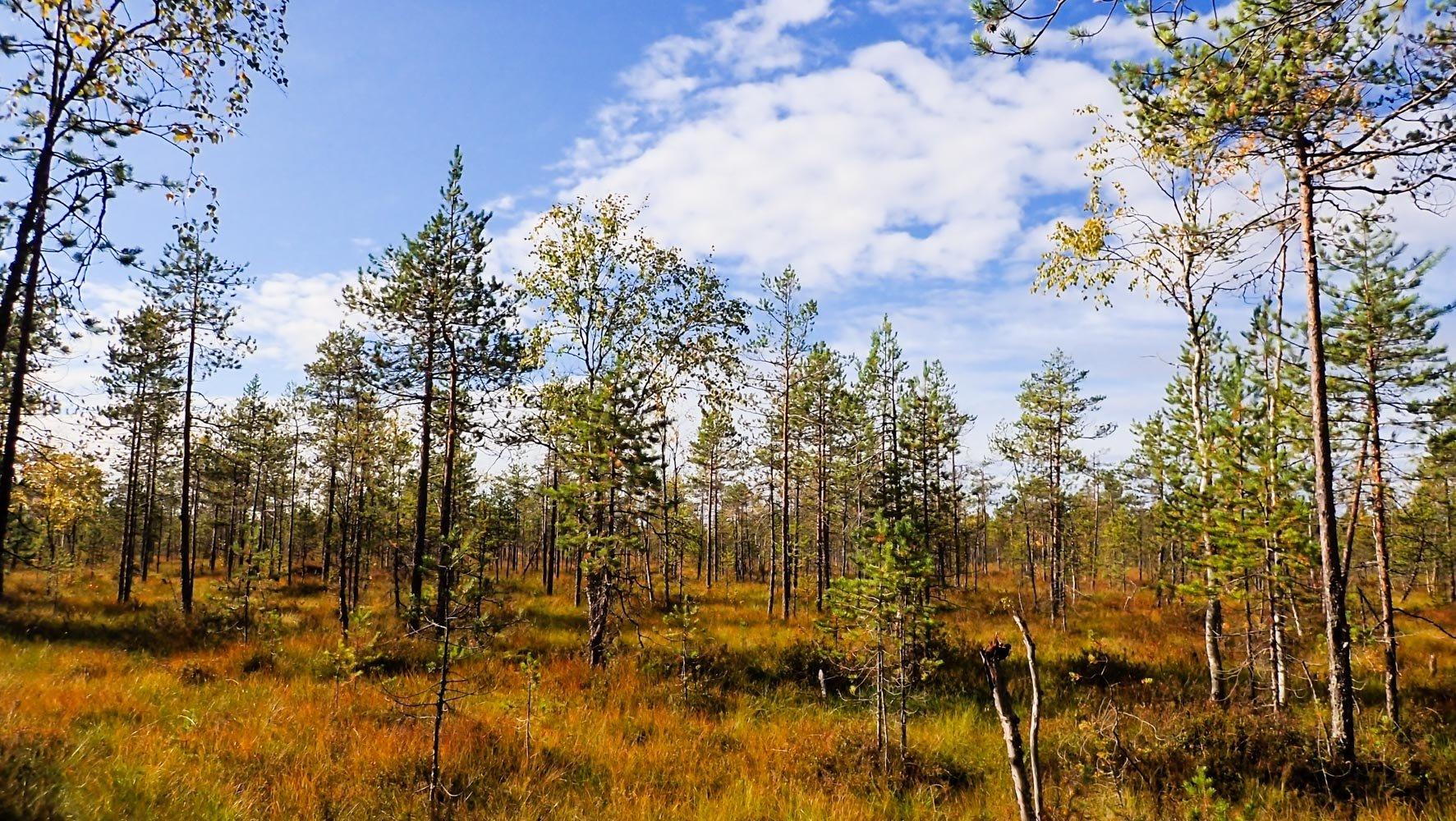 Matalia mäntyjä kasvava ruohoinen räme.
