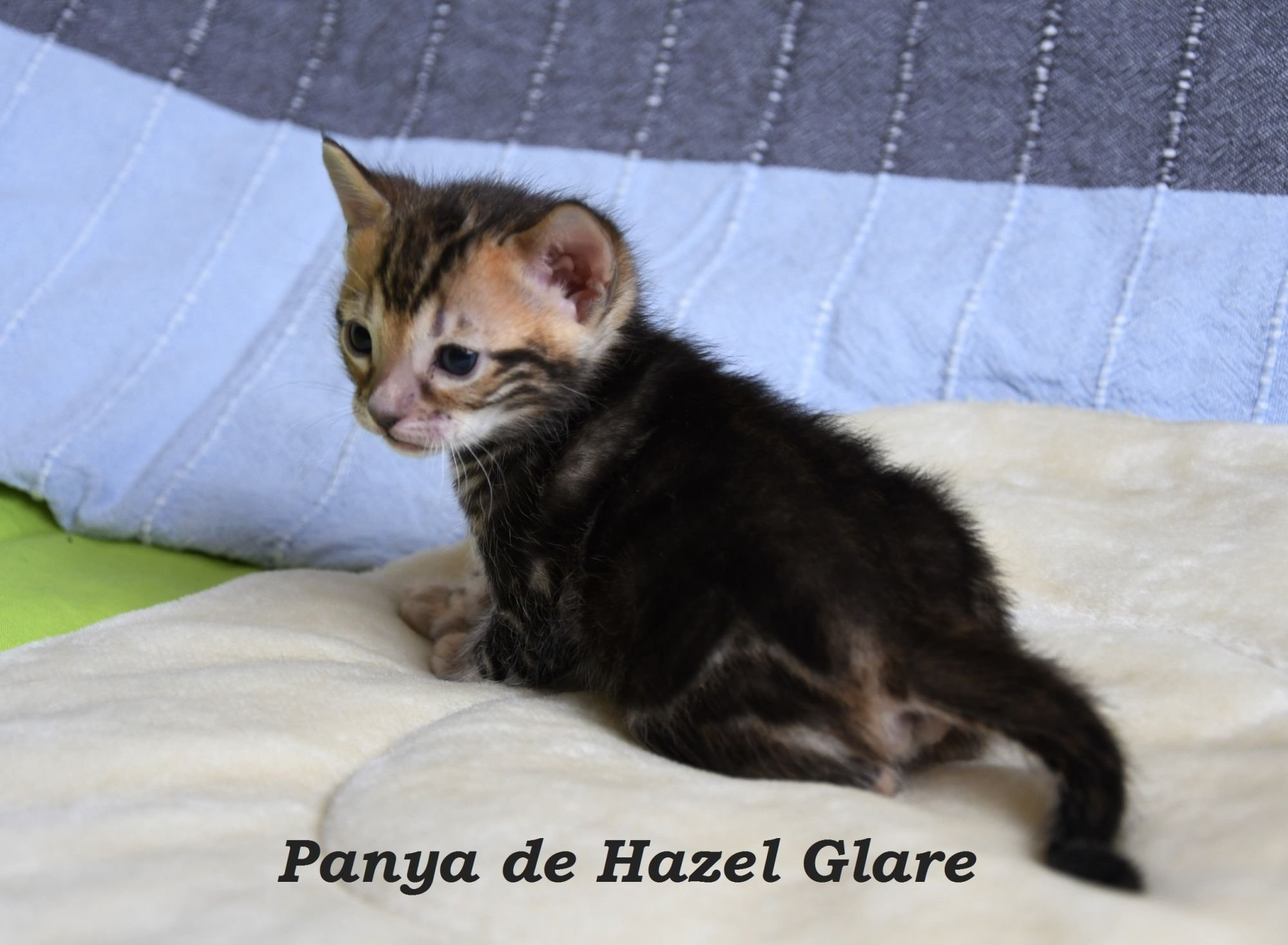 Panya de Hazel Glare
