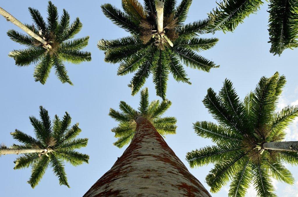 עץ הדקל הקיסרי בגנים הבוטניים של ריו
