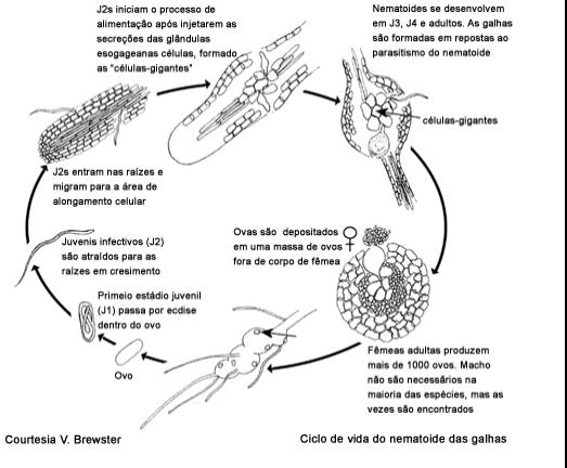 Ciclo de vida nematodos