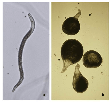 morfología metados