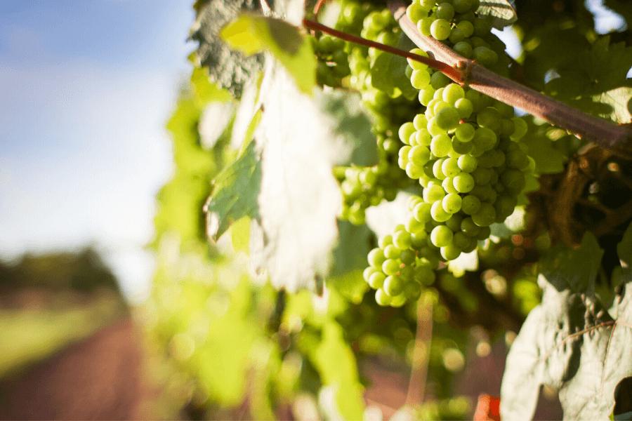 Des vignes de Riesling-Sylvaner