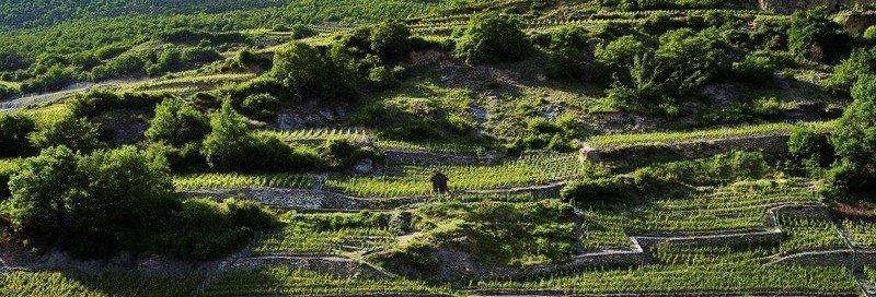 Les vignes de la Cave des Oasis
