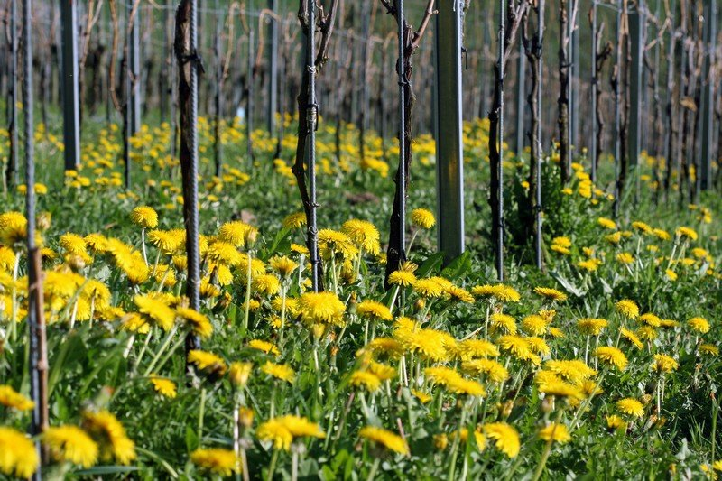 Vignes fleuries de Martin Wolfer