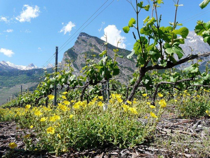 Les vignes valaisannes de la Cave le Bosset