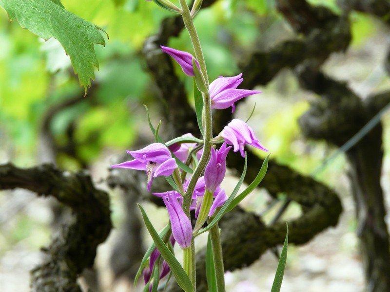 L'orchidée sauvage emblème de la Cave le Bosset