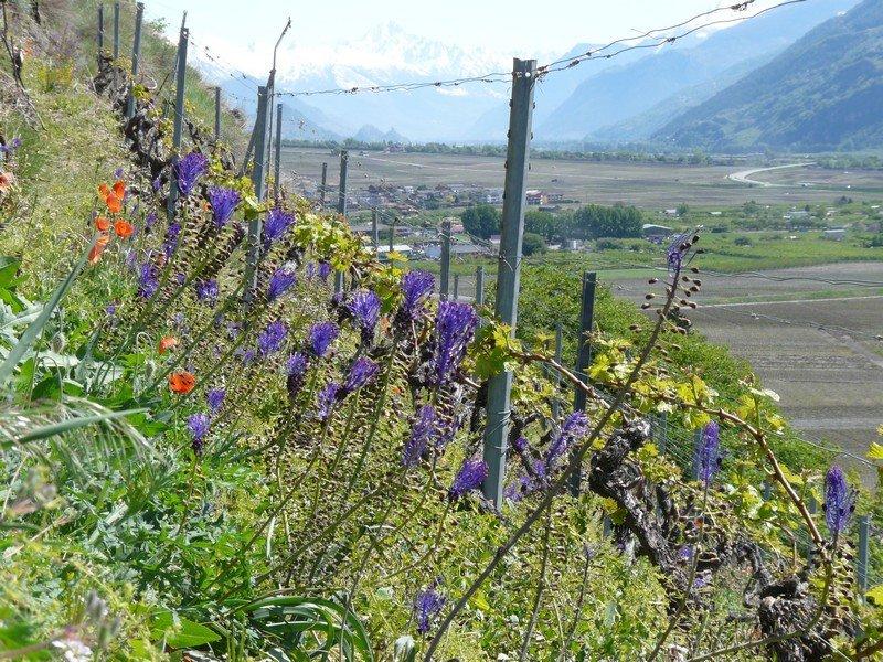 Les vignes de la cave le bosset sur la rive droite du Rhône en Valais
