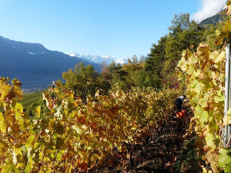 Les vignes de la cave le Bosset en vendanges