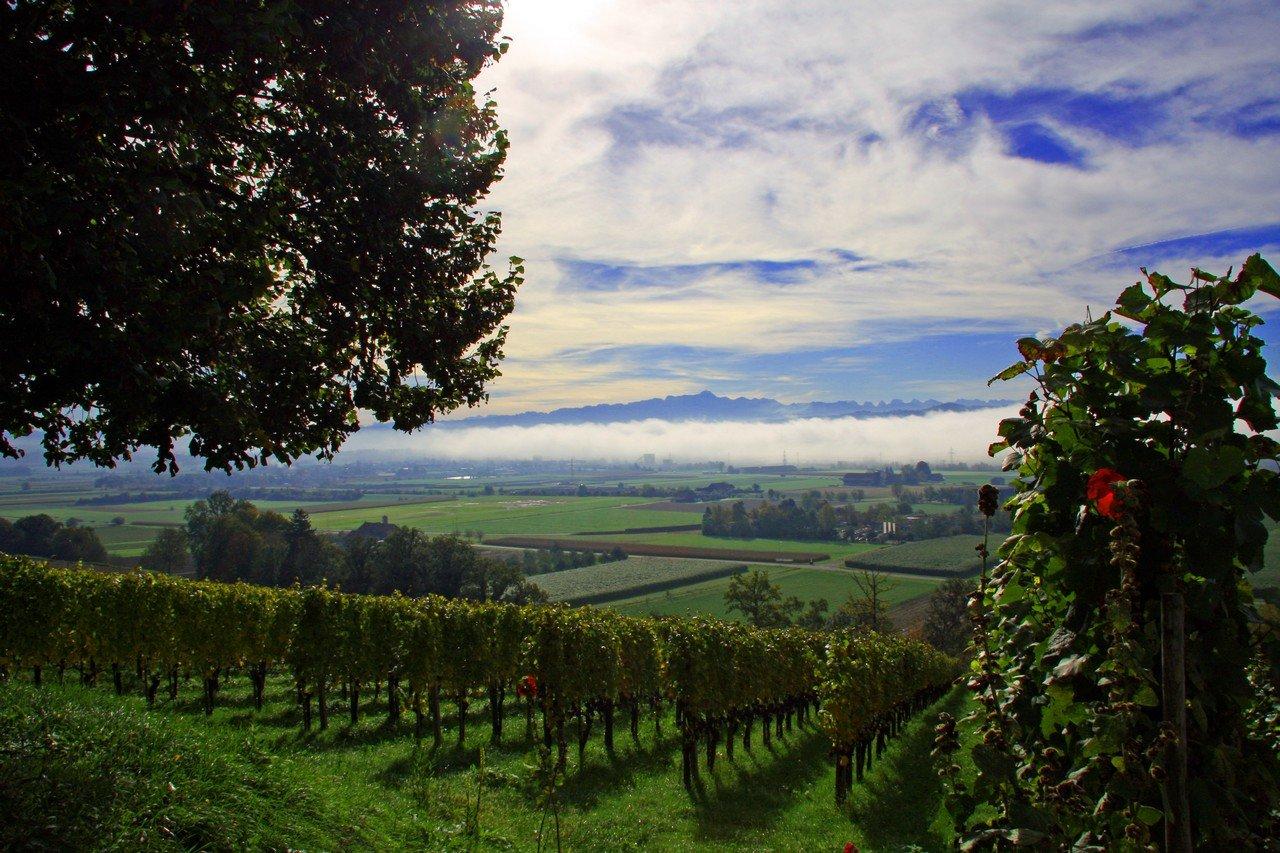Les Vignes du Domaine de Martin Wolfer situé à Weinfelden en Thurgovie