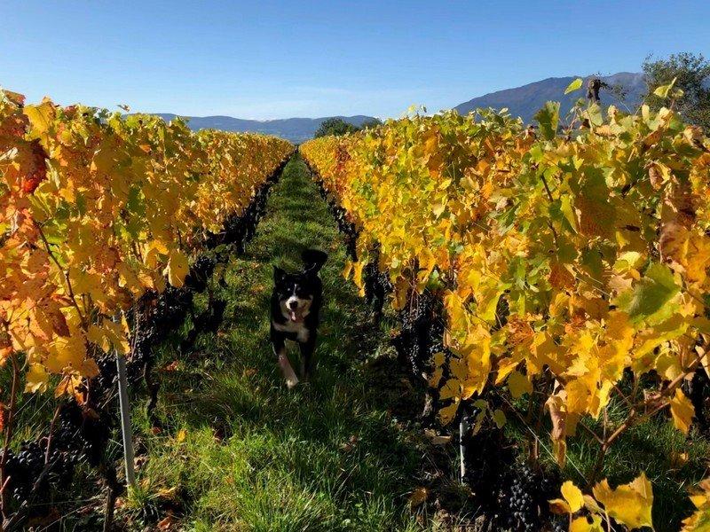 Les vignes du Domaine des Charmes, à Peissy dans le vignoble genevois.