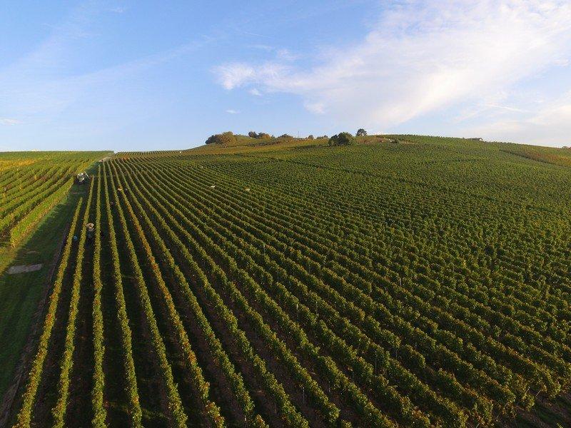 Les vignes du Domaine des Curiades à Lully dans le vignoble genevois