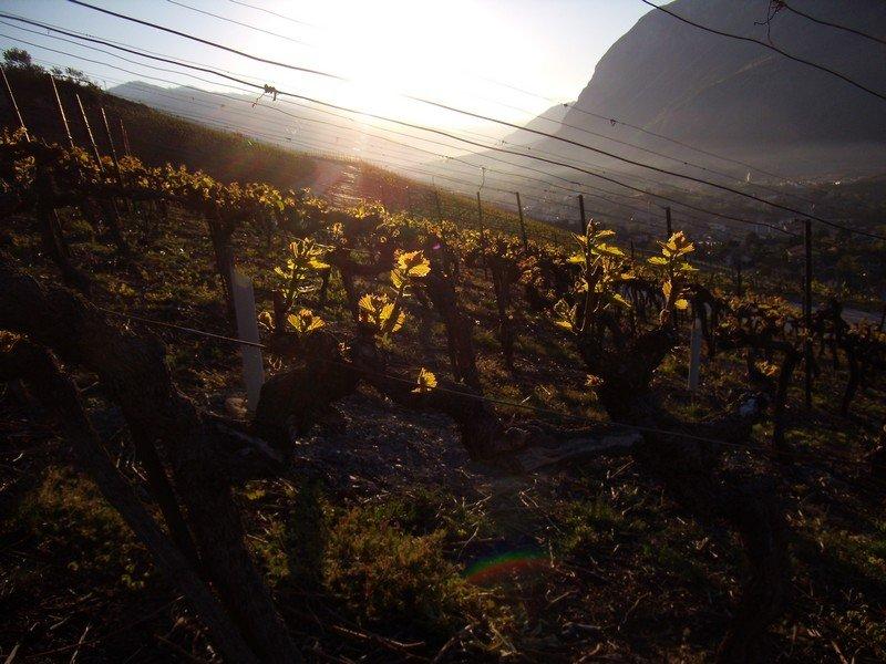 Les vignes de la Cave Mabillard-Fuchs à Venthône dans le vignoble valaisan.