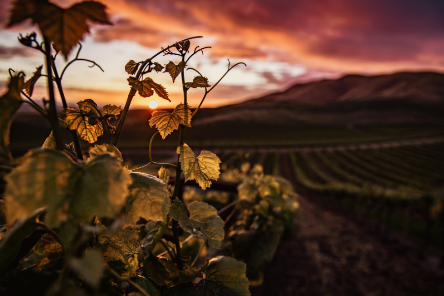 vigne feuille