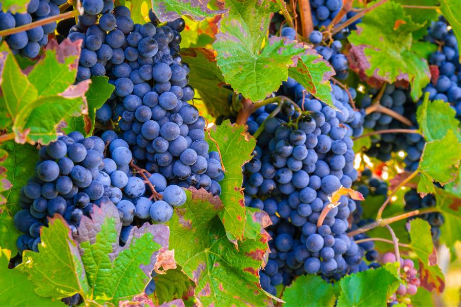 grappes de raisins rouge sur vigne