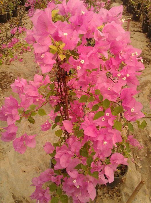 ربما تحتوي الصورة على: زهرة، ونبات، وشجرة، ونشاطات في أماكن مفتوحة وطبيعة