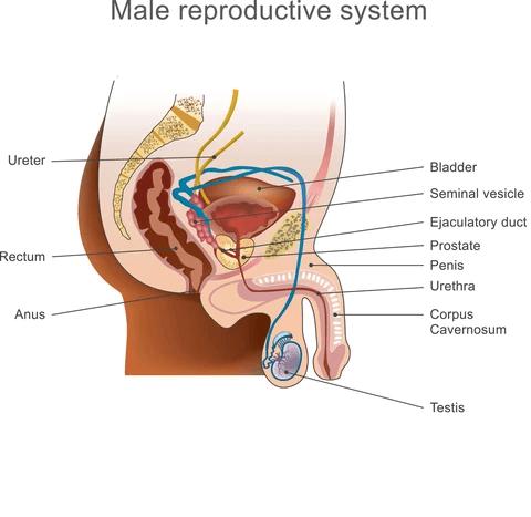 prostate diagram for prostate massage