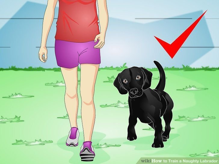 Image titled Train a Naughty Labrador Step 3