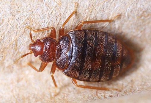 شركة مكافحة حشرة بق فراش في أبو ظبي
