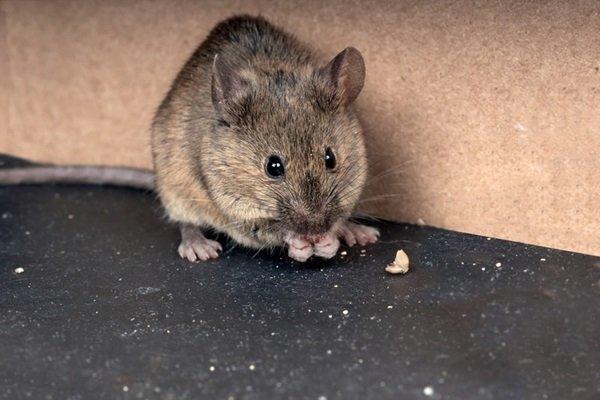 شركة مكافحة الفئران في ربدان أبو ظبي