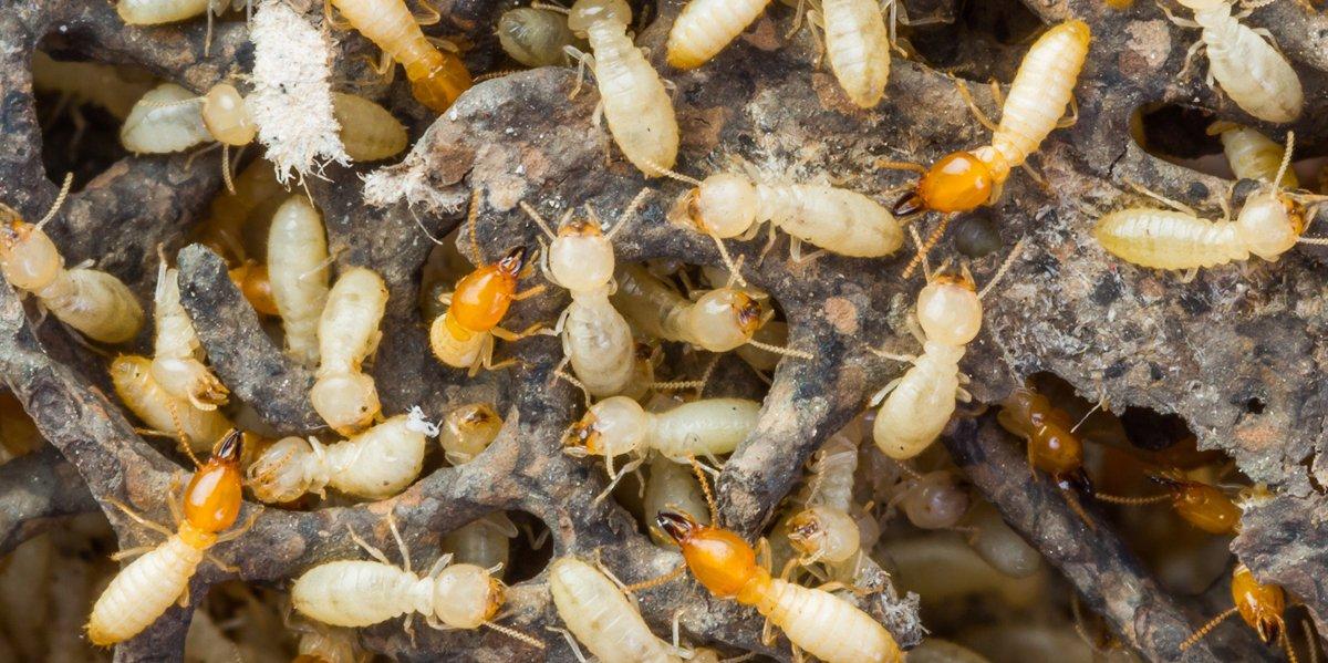 شركة مكافحة النمل الأبيض الرمة في ساس النخيل أبو ظبي