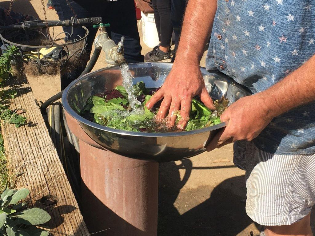 Rinsing salad greens