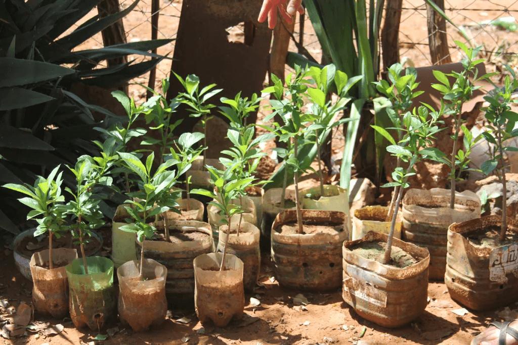 BG3-Growing-baobab-seedlings