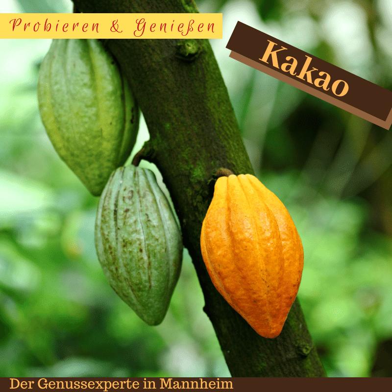 Kakao, Frucht der Götter und die Bohne aus der Schokolade gemacht wird. Aber Bohne ist nicht gleich Bohne. Es gibt sehr große Unterschiede