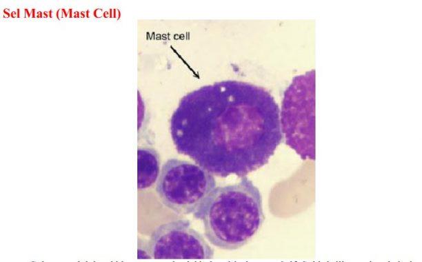 Mast Cell Sel Mast