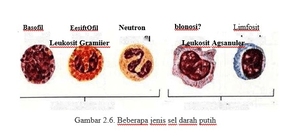 jenis sel darah putih