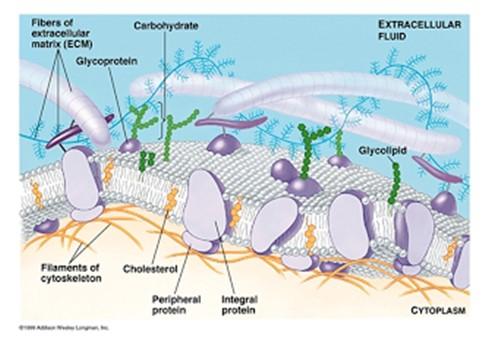 Gambar Kelas Rhizopoda